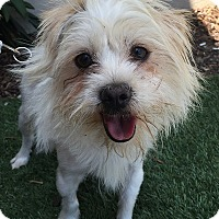 Adopt A Pet :: PALOMA - Rancho Palos Verdes, CA