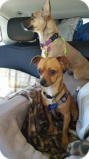 Chihuahua Mix Dog for adoption in Fountain Valley, California - CornDog