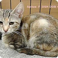 Adopt A Pet :: Spitze - Brandon, FL