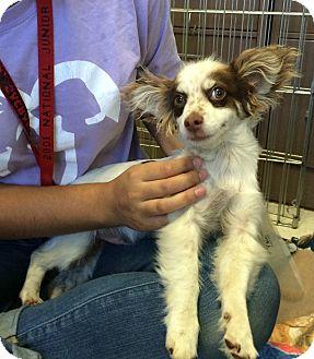 Papillon Mix Puppy for adoption in Rancho Cordova, California - Nemo
