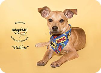 Chihuahua/Rat Terrier Mix Puppy for adoption in Houston, Texas - Dobbie