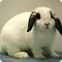 Mini Lop Mix for adoption in West Des Moines, Iowa - Perry