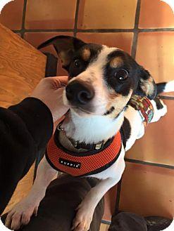 Jack Russell Terrier/Dachshund Mix Dog for adoption in Clatskanie, Oregon - Raj