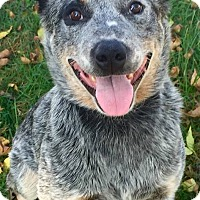 Adopt A Pet :: Bingo - Texico, IL