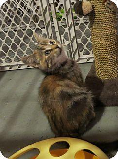 Domestic Shorthair Kitten for adoption in Geneseo, Illinois - Geneva