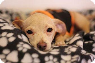 Dachshund/Chihuahua Mix Puppy for adoption in Phoenix, Arizona - Fishy