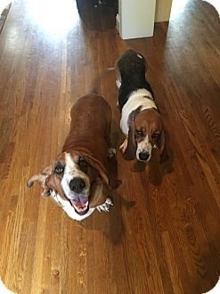 Basset Hound Dog for adoption in Northport, Alabama - Clarabelle