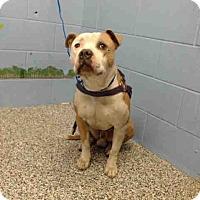 Pit Bull Terrier Mix Dog for adoption in San Bernardino, California - URGENT on 11/23 SAN BERNARDINO