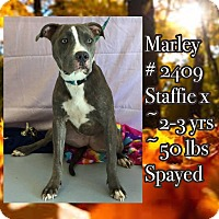 American Staffordshire Terrier Mix Dog for adoption in Durham, North Carolina - Marley