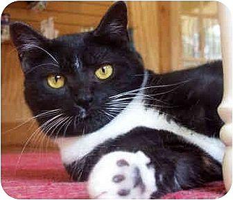 Domestic Shorthair Cat for adoption in Stone Mountain, Georgia - Tigger