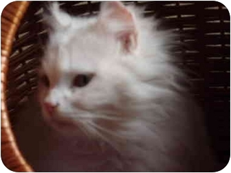 Domestic Longhair Cat for adoption in Morris, Pennsylvania - Angel