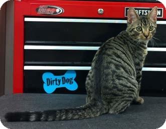 Domestic Shorthair Kitten for adoption in Merrifield, Virginia - Salsa