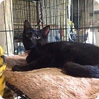 Adopt A Pet :: Purrl - Colmar, PA