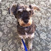 Adopt A Pet :: Shermy (aka Sherman) - Redondo Beach, CA