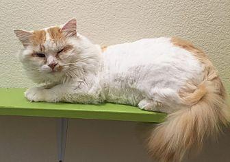 Domestic Longhair Cat for adoption in Colorado Springs, Colorado - Tomahawk