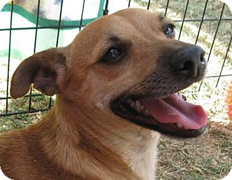Chihuahua/Terrier (Unknown Type, Small) Mix Dog for adoption in Phoenix, Arizona - Theodore