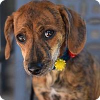 Adopt A Pet :: Rocco - Baton Rouge, LA