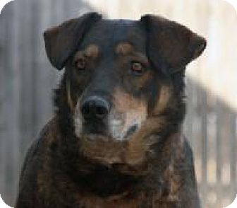 Shepherd (Unknown Type) Mix Dog for adoption in Yukon, Oklahoma - India