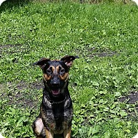 Shepherd (Unknown Type) Mix Dog for adoption in Port Coquitlam, British Columbia - Celeste