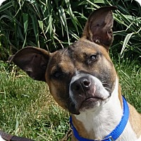 Pit Bull Terrier Mix Dog for adoption in Dundee, Michigan - Indigo