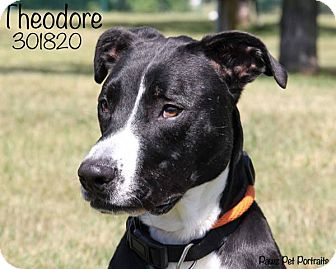 Border Collie/Whippet Mix Dog for adoption in Troy, Michigan - Theodore