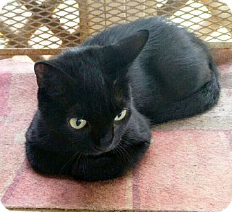 Domestic Shorthair Cat for adoption in Arlington/Ft Worth, Texas - Mia