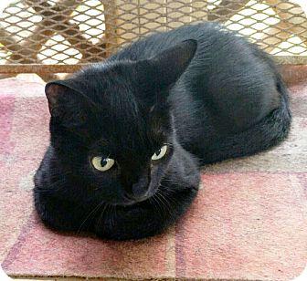 Domestic Shorthair Cat for adoption in Arlington/Ft Worth, Texas - Mia