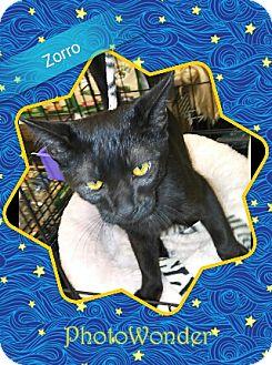 Domestic Mediumhair Cat for adoption in San Bernardino, California - Zorro