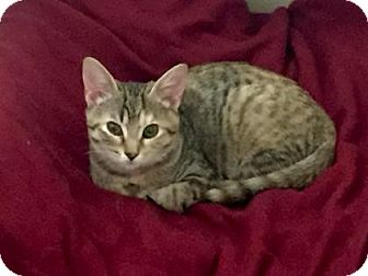 Domestic Shorthair Kitten for adoption in Bulverde, Texas - Tinker Bell