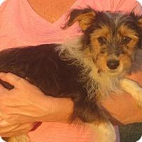 Yorkie, Yorkshire Terrier/Sheltie, Shetland Sheepdog Mix Puppy for adoption in Rochester, New York - Rose