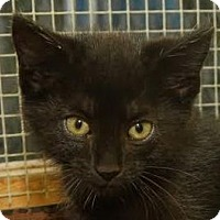 Bombay Cat for adoption in Cookeville, Tennessee - Shadow - MEET ME @ PETCO!
