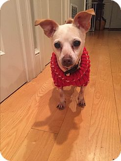 Chihuahua Dog for adoption in Worcester, Massachusetts - Samantha
