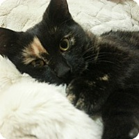 Domestic Shorthair Kitten for adoption in Toronto, Ontario - Toffee