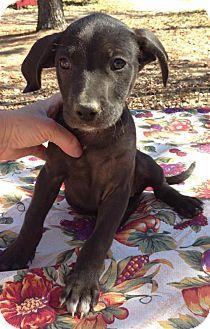 Labrador Retriever Mix Puppy for adoption in Louisville, Kentucky - Abilene
