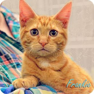 Domestic Shorthair Cat for adoption in Tremont, Illinois - Frankie