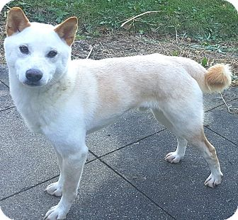Shiba Inu Dog for adoption in Oswego, Illinois - Casper