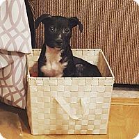 Adopt A Pet :: Mr. Bigglesworth - Hainesville, IL