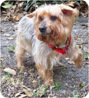 Yorkie, Yorkshire Terrier Dog for adoption in West Palm Beach, Florida - Kris