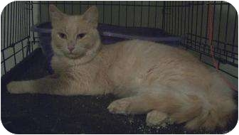 Turkish Angora Cat for adoption in Cocoa, Florida - Austin