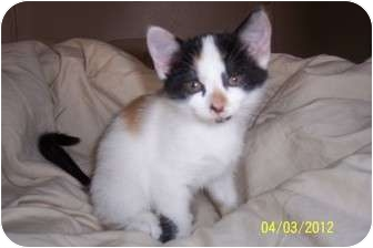 Calico Kitten for adoption in Saint Albans, West Virginia - Clovis