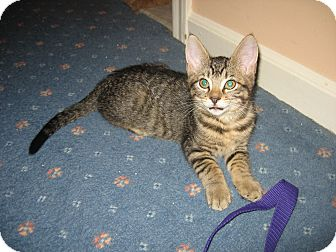 Domestic Shorthair Kitten for adoption in Hamilton, New Jersey - BOGEY