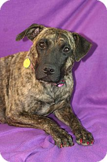 Catahoula Leopard Dog/Hound (Unknown Type) Mix Dog for adoption in Westminster, Colorado - Joy