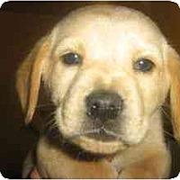 Adopt A Pet :: Gherkin - Novi, MI
