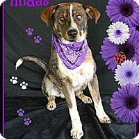 Adopt A Pet :: Midas - Plano, TX