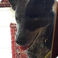 Adopt A Pet :: Peppa - Austin, TX