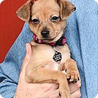 Adopt A Pet :: Spuds - Novato, CA