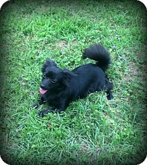 Pomeranian Mix Puppy for adoption in Lower Macungie Towns, Pennsylvania - Lulu Belle -  SWEET