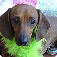 Adopt A Pet :: COCO CHANELLE - Portland, OR