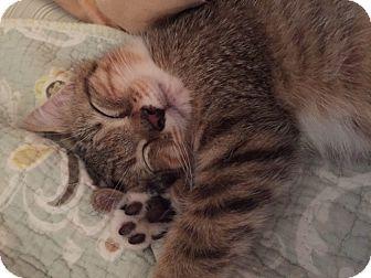 Domestic Shorthair Kitten for adoption in Covington, Kentucky - Nancy