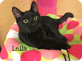 Domestic Shorthair Kitten for adoption in Foothill Ranch, California - Leila